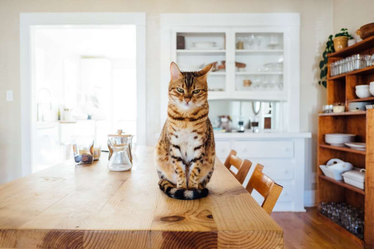 A cat eyes the camera suspiciously while seated on a kitchen table.