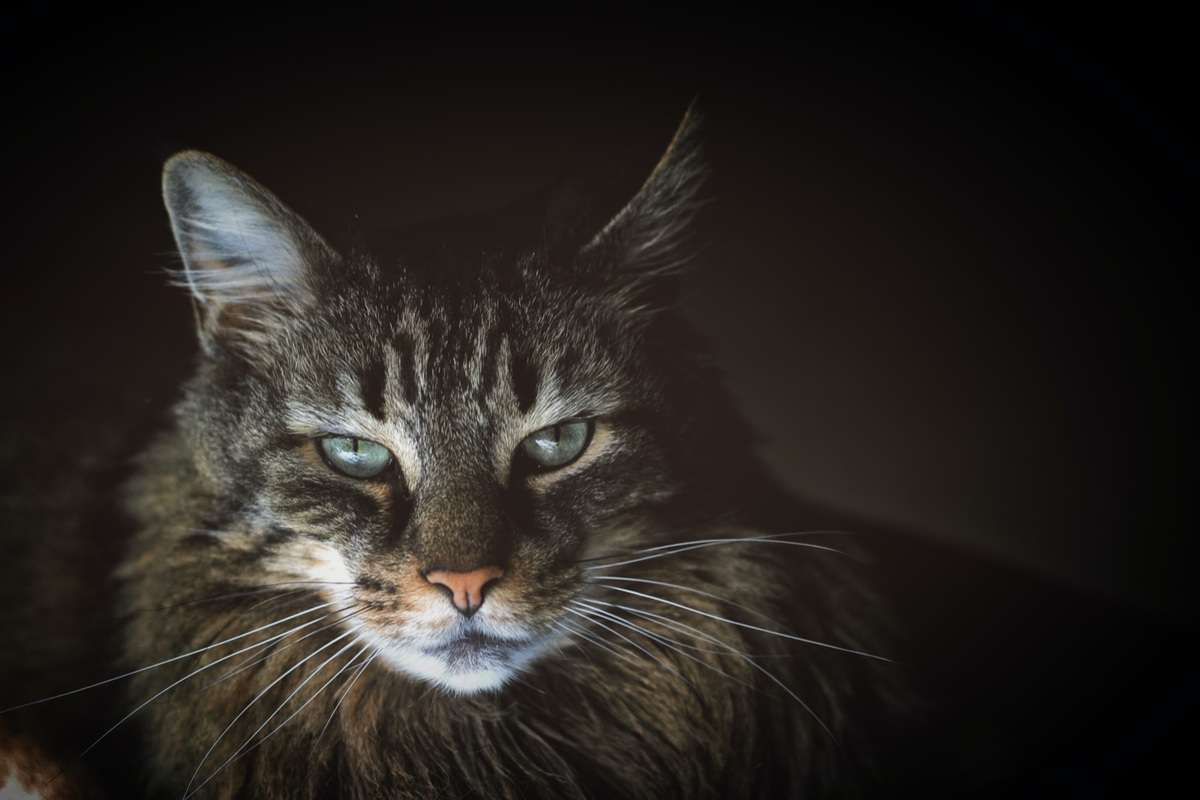 A grumpy-looking cat with a regal mane looks at the camera aggressively from the darkness.